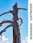 burnt tree on the volcano etna   Shutterstock . vector #1247465209
