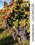 ripe grapes on the vine   Shutterstock . vector #1247465230