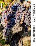 ripe grapes on the vine   Shutterstock . vector #1247465233