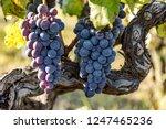 ripe grapes on the vine   Shutterstock . vector #1247465236