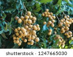 longan orchards   tropical... | Shutterstock . vector #1247665030