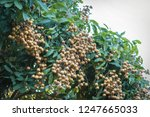 longan orchards   tropical... | Shutterstock . vector #1247665033