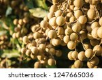 longan orchards   tropical... | Shutterstock . vector #1247665036