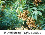longan orchards   tropical... | Shutterstock . vector #1247665039