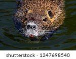 ordinary beaver  or river... | Shutterstock . vector #1247698540