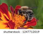 Macro Of A Bumblebee. A...