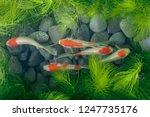 Koi Fish Background Green Wate...