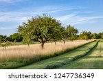 beautiful typical speierling... | Shutterstock . vector #1247736349