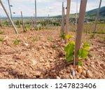 wide closeup of grape seedlings ... | Shutterstock . vector #1247823406