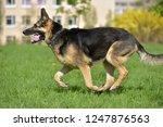the oldest german shepherd runs ... | Shutterstock . vector #1247876563