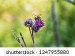 a large shaggy bright yellow...   Shutterstock . vector #1247955880