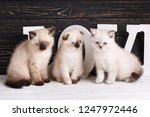 Stock photo scottish straight and scottish fold kittens background with kittens ready for your design 1247972446