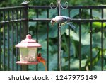 blue jay and northern cardinal...   Shutterstock . vector #1247975149