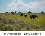 American Bison Grazing ...