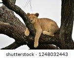 African Lion Resting In Tree I...