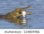 A Nile Crocodile With Its Fish...