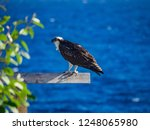 osprey  views around the small ... | Shutterstock . vector #1248065980