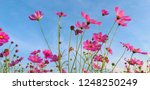 cosmos flower. sulfur cosmos.... | Shutterstock . vector #1248250249