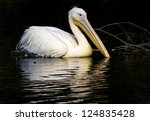 great white pelican | Shutterstock . vector #124835428