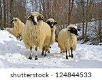A Flock Of Purebred Domestic...