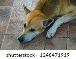 brown dog lay on the floor | Shutterstock . vector #1248471919