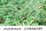 felled  christams trees  firs ... | Shutterstock . vector #1248486589