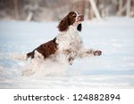 Springer Spaniel Dog Running...