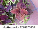 "coleus plant ""giant exhi bition ... | Shutterstock . vector #1248923050"