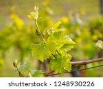 closeup macro detail of grapes...   Shutterstock . vector #1248930226