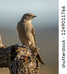 a townsend's solitaire perches... | Shutterstock . vector #1249011766