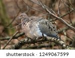 Mourning Doves Mated Pair On...
