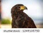 A Majestic  Brown Eagle Lookin...