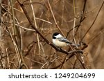 a black capped chickade perches ... | Shutterstock . vector #1249204699