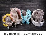 Stock photo scottish straight and scottish fold kittens kittens in a basket and decorative carriages 1249509316