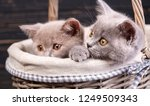 Stock photo scottish straight kittens two playful kittens in the basket kittens are hiding in a basket 1249509343