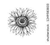 sunflower hand drawn vector... | Shutterstock .eps vector #1249583833