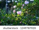 yokohama rose garden | Shutterstock . vector #1249787020