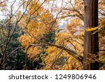 trees changing color from green ... | Shutterstock . vector #1249806946