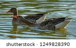 large grey goose was the result ... | Shutterstock . vector #1249828390