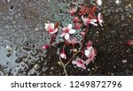a bunch of peach blossoms... | Shutterstock . vector #1249872796