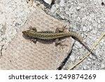 common wall lizard  podarcis... | Shutterstock . vector #1249874269
