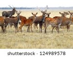 A Herd Of Deer Pasturing In Th...