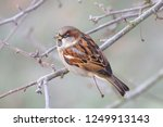 a brown sparrow sitting on a... | Shutterstock . vector #1249913143