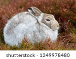 Stock photo white mountain hare lepus timidus these hares are native to the british isles this one was in 1249978480