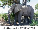 saw this elephant while... | Shutterstock . vector #1250068213