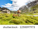 cows in high mountain pasture | Shutterstock . vector #1250097973