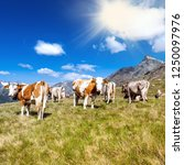 cows in high mountain pasture   Shutterstock . vector #1250097976