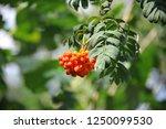 rowan berries  mountain ash ... | Shutterstock . vector #1250099530