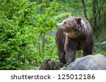 Brown Bear  Lat. Ursus Arctos ...