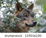 The Wolf Canis Lupus Is A...